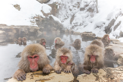 snow monkey of the outdoor bath