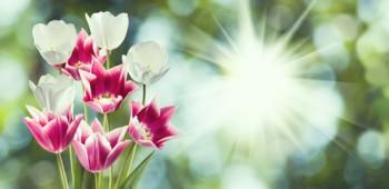 Beautiful flowers tulips in the garden closeup.
