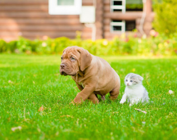 Bordeaux puppy dog and newborn kitten walking together on green